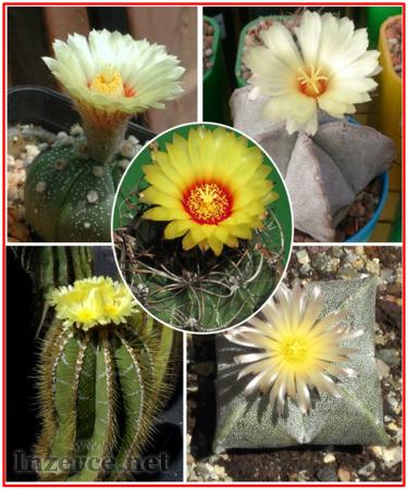 Kaktus Astrophytum směs druhů - semena