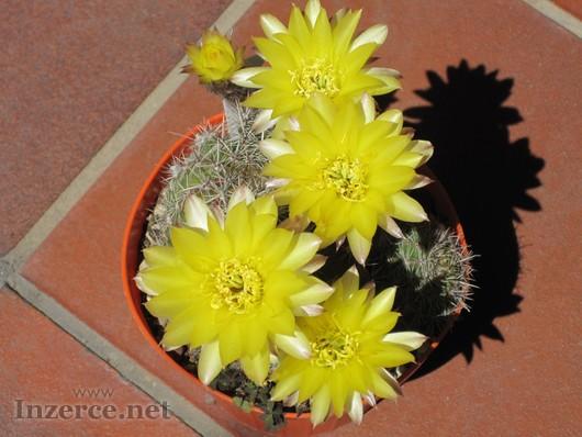 Kaktus Echinopsis aurea - semena