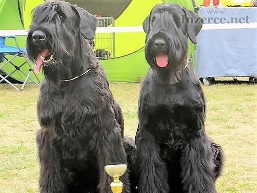 Knírač velký černý štěn. s PP.