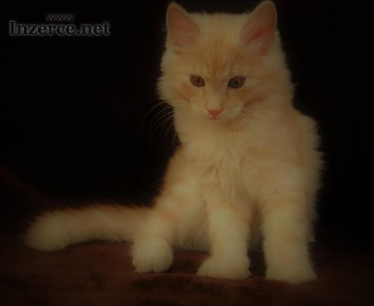 Kocourek Sibiřské kočky s PP