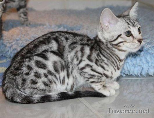 Koťata bengálských koček s PP