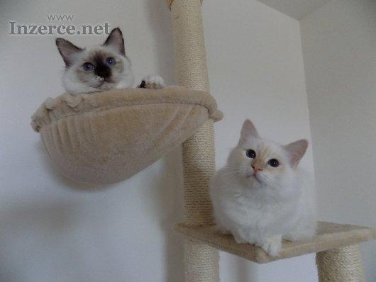 Koťátka Birmy s PP