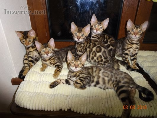Koťátka kočky bengálské