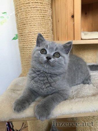 Krásná britská koťátka