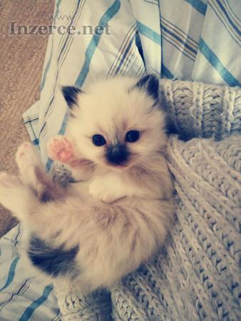 Krásná koťátka birmy posvátné s PP