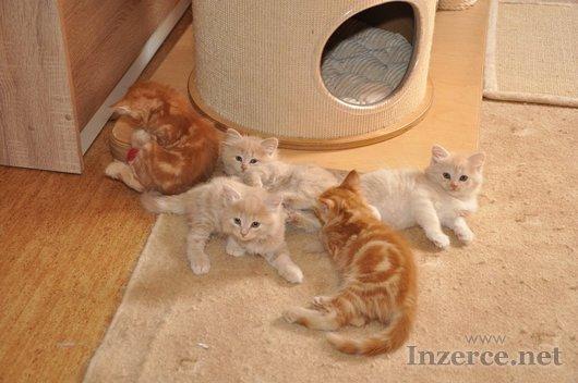 Krásná sibiřská koťata s PP