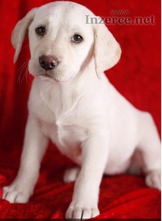 Krásné štěňata labradorských retrívrů pro přijetí