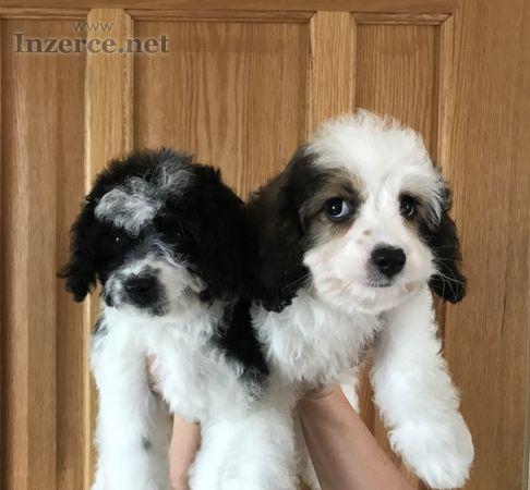 Krásné štěně cavapoo připraveno jít