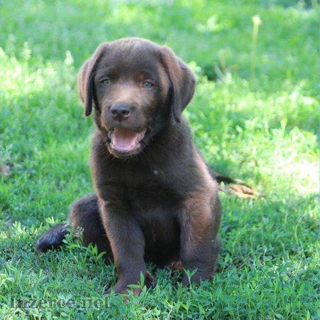 Labrador - čokoládová štěňátka