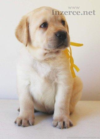 Labradorský retriever s PP