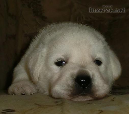 Labradorský retrívr s PP smetanová štěňata