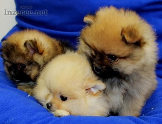 Láskyplné Pomeranian štěňata
