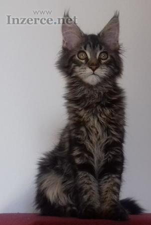 Maine Coon luxusní kočička s PP  exkluzivní mazlíč