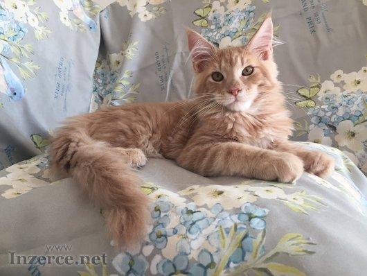 Mainská mývalí kočka - koťata s PP