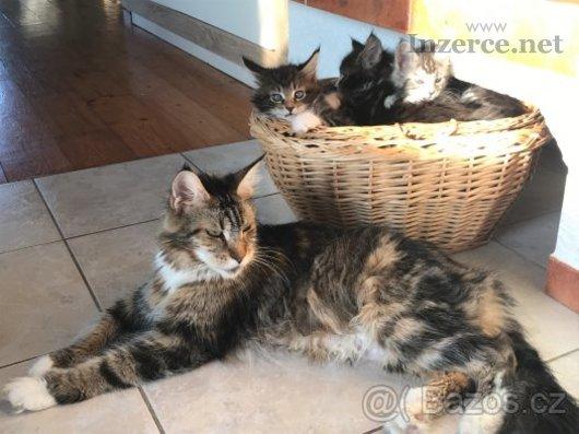 Mainská mývalí kočka - koťátka s PP