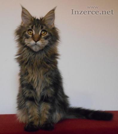 Mainská mývalí kočka - kvalitní kotě s PP