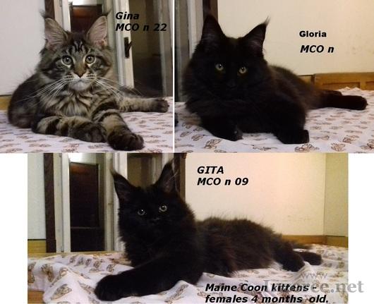 Mainská mývalí kočka luxusní koťata s PP na chov