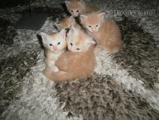 Mainská mývalí kočka - nádherná