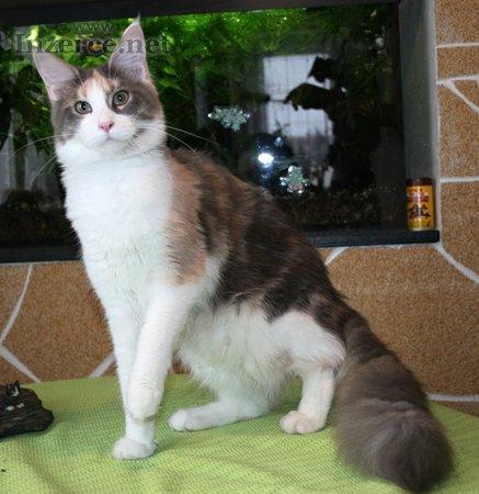 Mainská mývalí s PP - kočičky - 11m