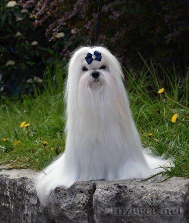 Maltézáček (Maltézský psík)  s PP