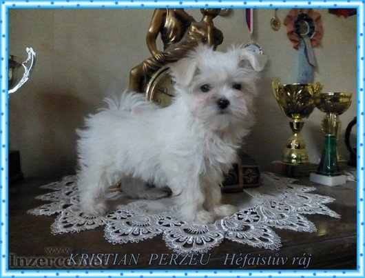Maltézský psík s PP