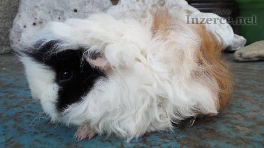 Miloučká samička morčete, mládě - peruánec lunkary