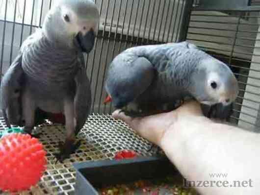 Nabídka Žako Africké šedé papoušci