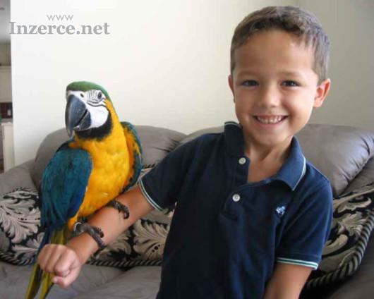 Nabídka zlatá a modrá papoušek