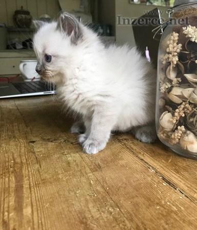 Nabízím k odběru ragdoll koťátka, 1. 6. 2018, pouz