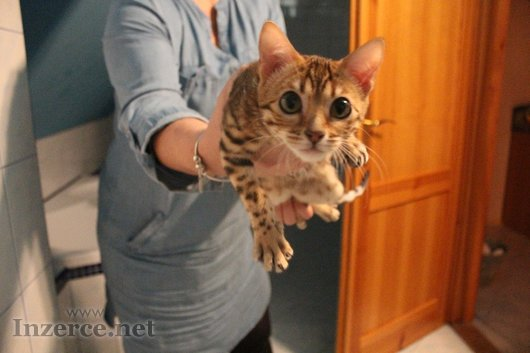 Nádherná bengálská kočička s PP