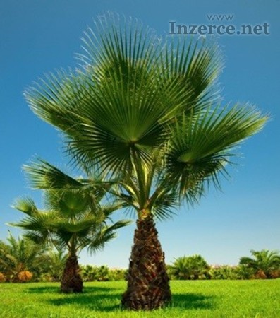 Naklíčená semena palma Washingtonia filifera