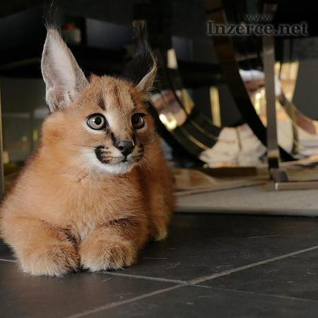 Naše kočky Serval, koťata Savannah F1 a Caracal js