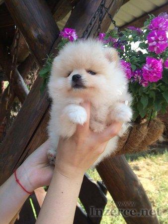 Něm. špic - mini bílá štěnátka s