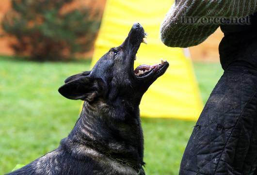 Německý ovčák s PP štěně