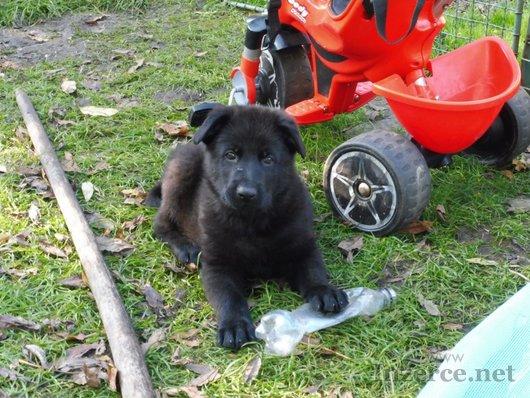 Německý ovčák - štěňata s PP