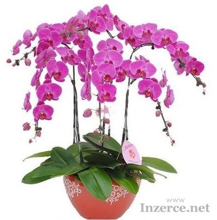 Orchidej Phalaenopsis - semena 25 ks