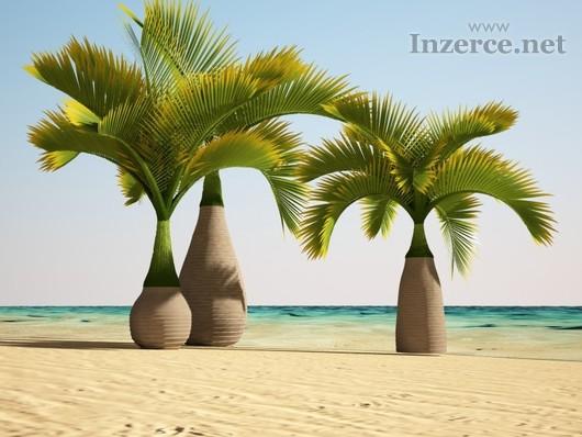 Palma lahvová - semena 10 ks