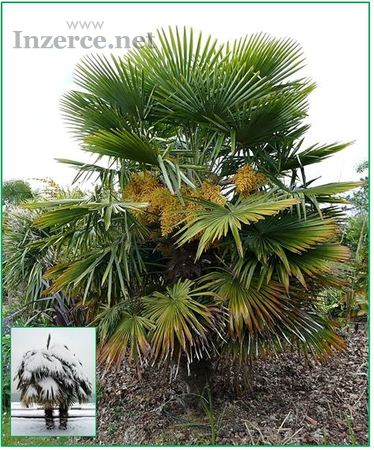 Palma Trachycarpus Fortunei - Stratifikovaná semen