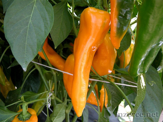 Paprika Ornela - semena