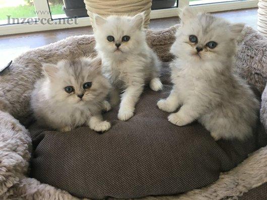 Perská činčila-koťátka