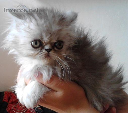 Perská koťata bez  PP