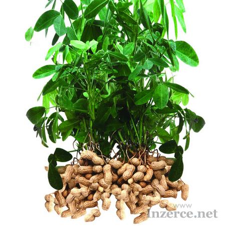 Podzemnice olejná - Arašíd - semena pro výsadbu