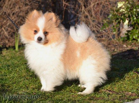 Pomeranian -špic s PP