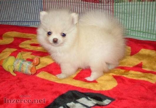 Pomeranian štěňata pro adopci