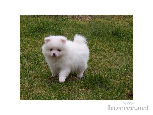 Pomeranian/ trpasličí špic prodám štěňata s PP