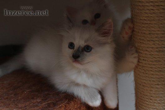 Posledni volná koťátka Ragdoll s PP