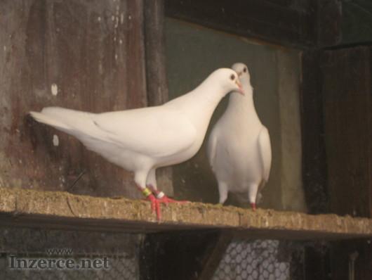 Poštovní holubi