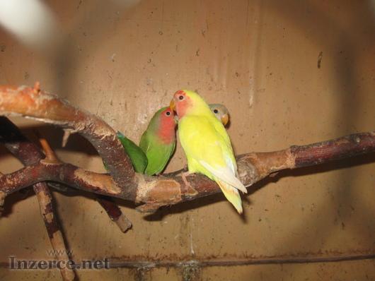 PRODÁM - agapornis růžohrdlý-mláďata