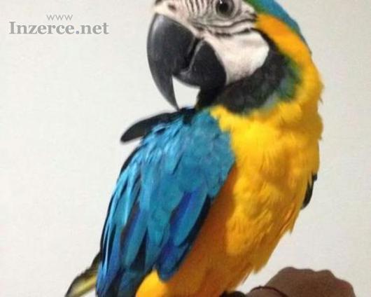 Prodám  Ara Ararauna papoušci