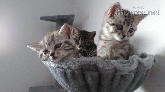Prodám britská koťátka s kresbou